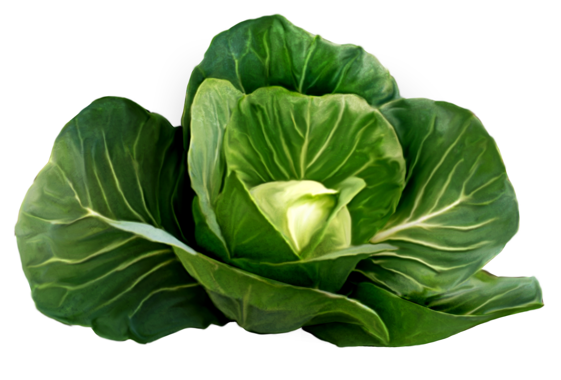 Pattern Cabbage
