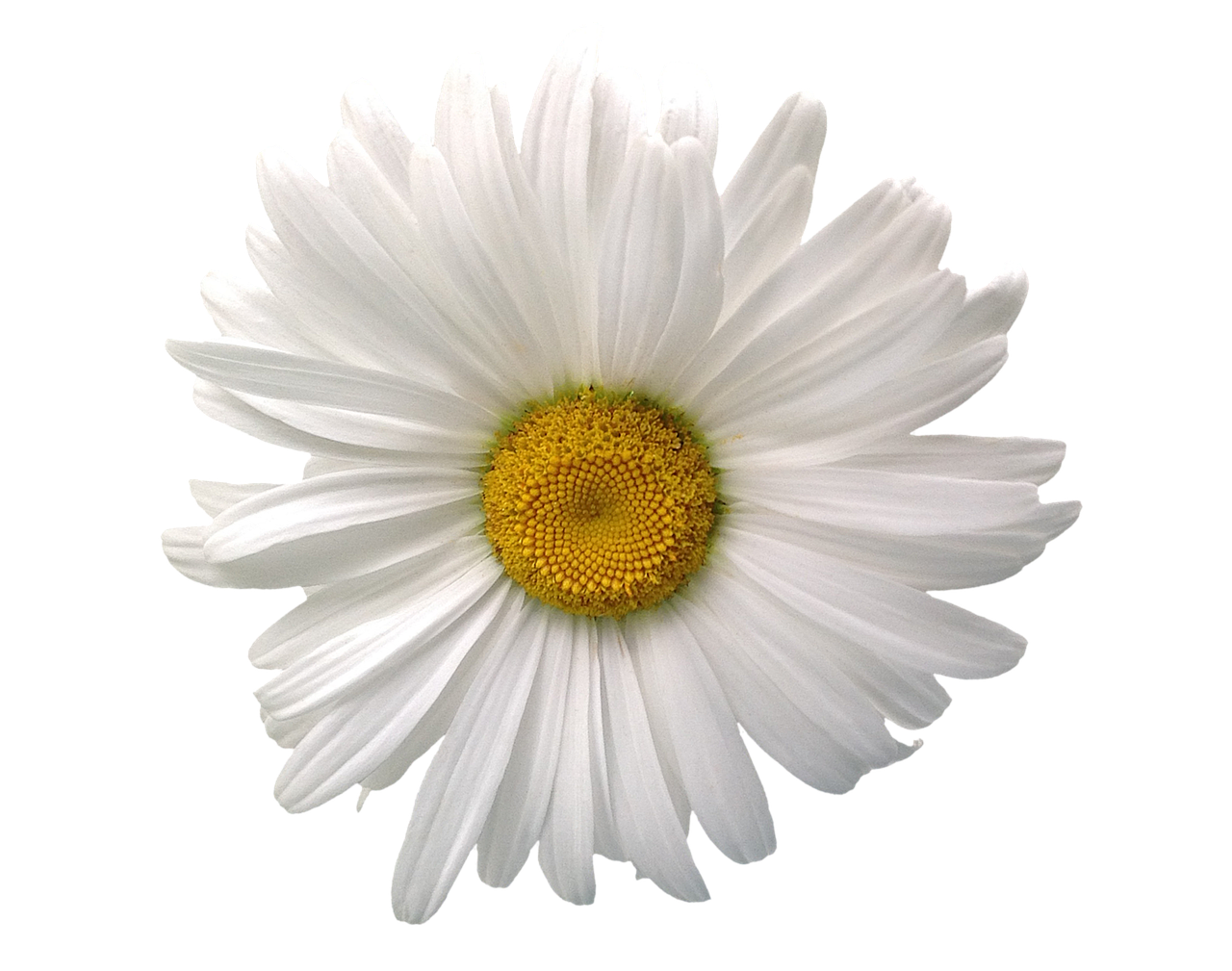 Marguerite Summer Flower Blossom