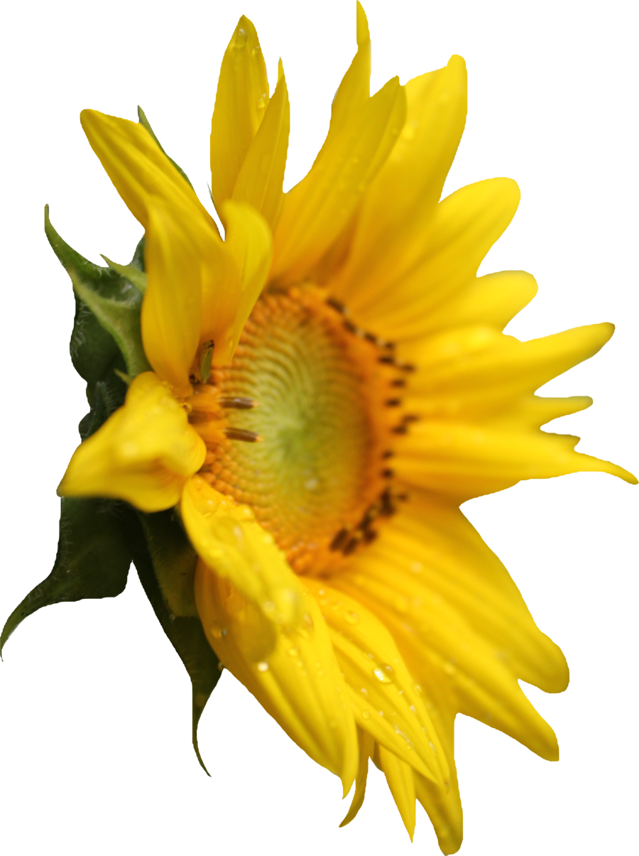Figure Sunflower