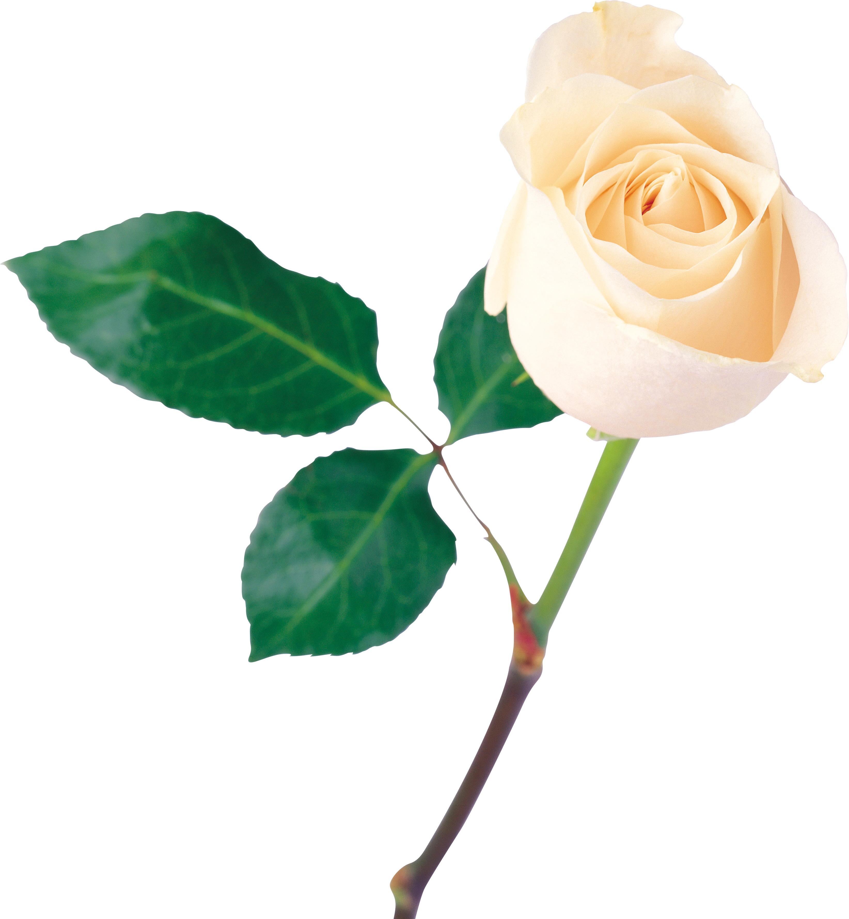 White roses HD